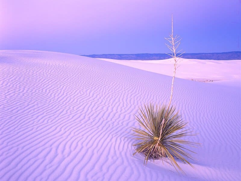 White Sands Yucca